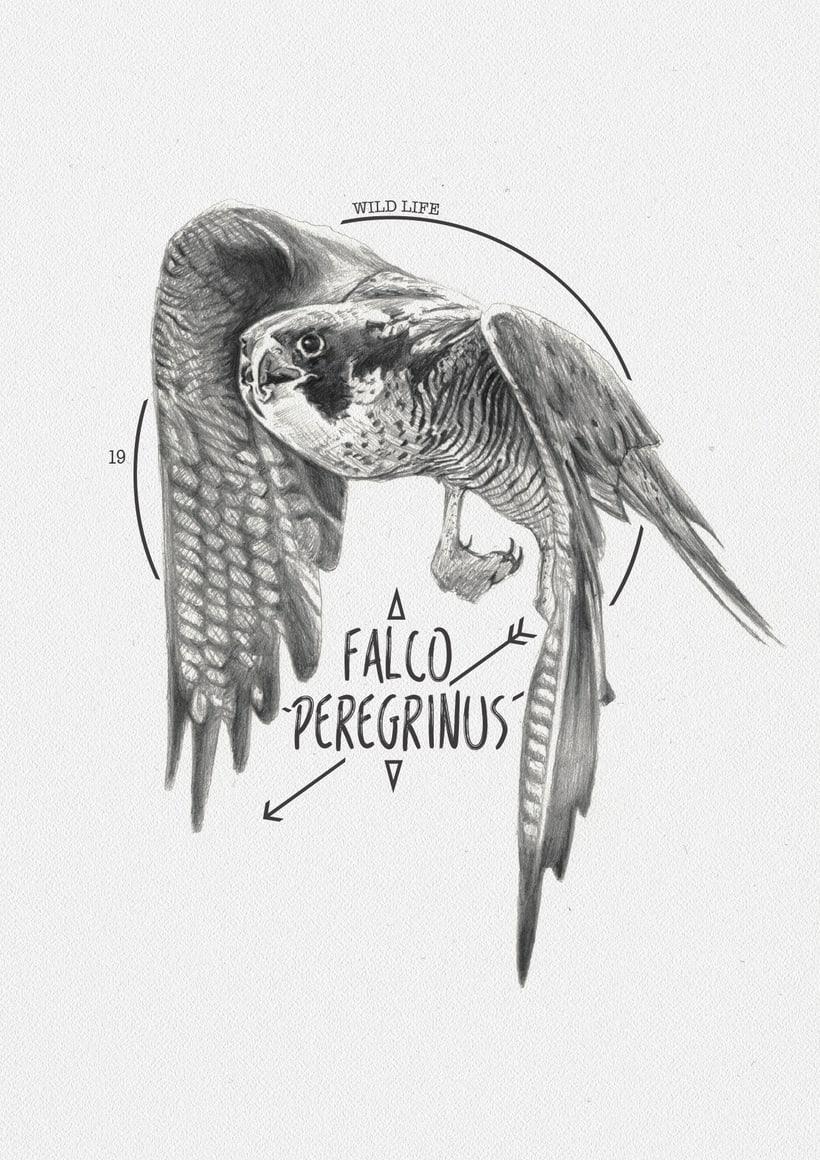 FALCO PEREGRINUS -1