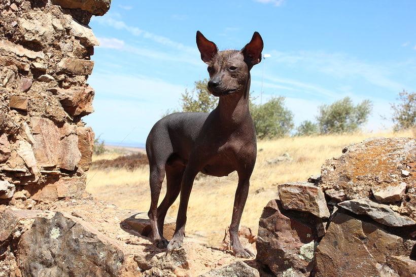 Perro peruano en plaza de armas de Lima, Peru  3