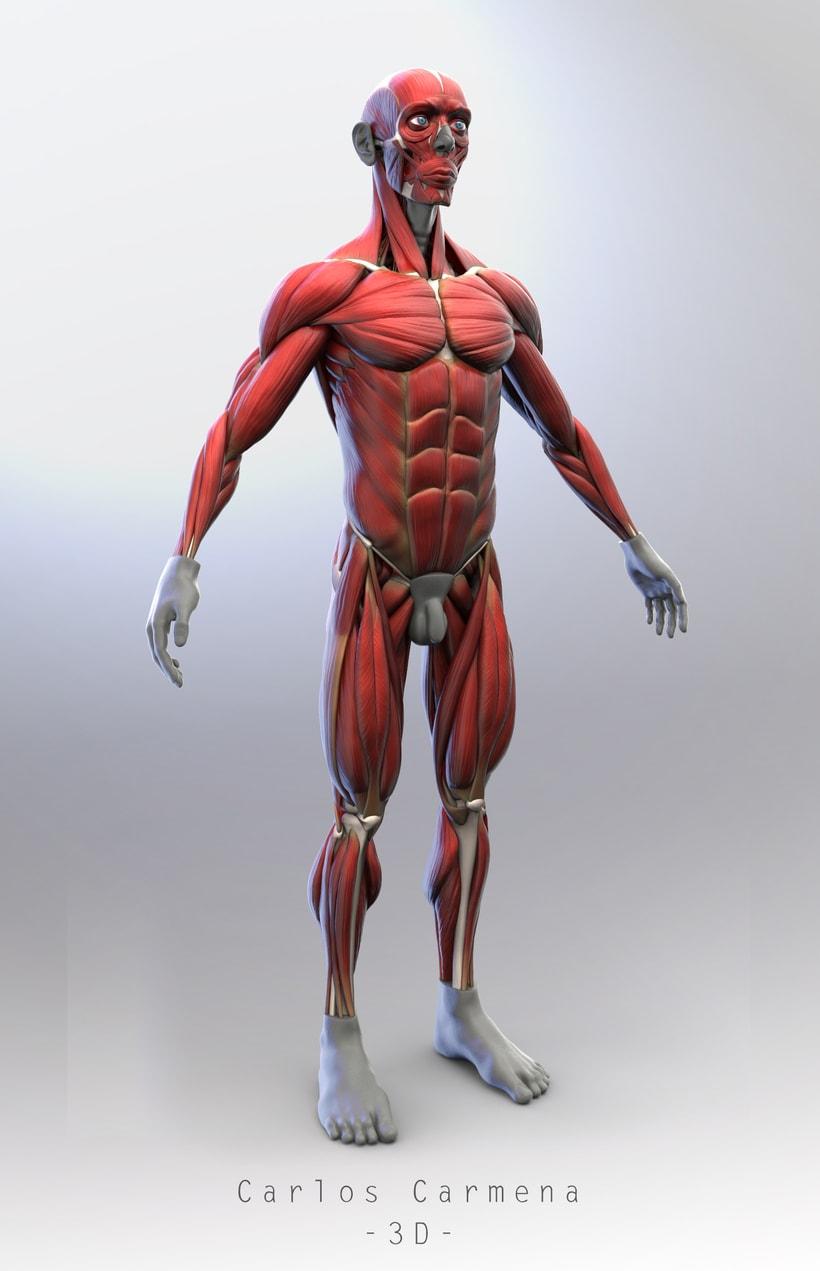 Ecorché - Anatomía muscular. | Domestika