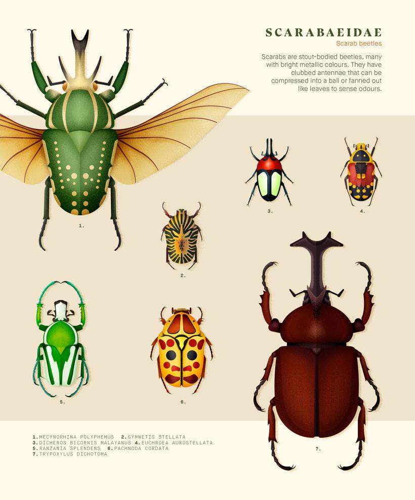 Coleoptera. Colección de ilustraciones de escarabajos 1